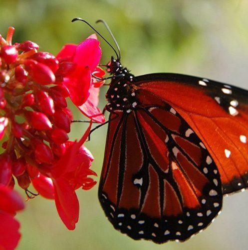 Sommerfugle er smukkest, når de er fri og levende